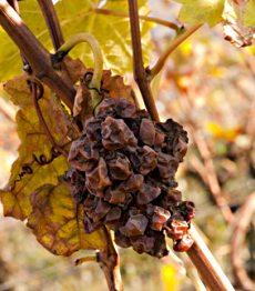 Trockenbeerenauslese Grapes 1